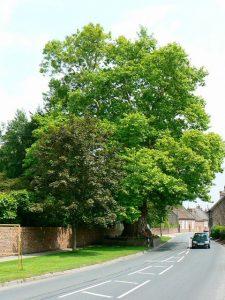 London Plane tree, Chilton Foliat, Wiltshire